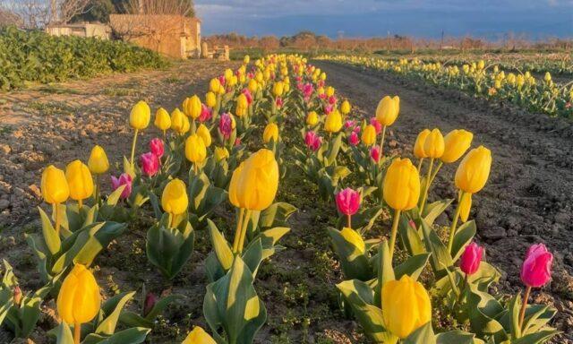 Piantati 50mila tulipani in Puglia: ecco come la bellezza genera profitto