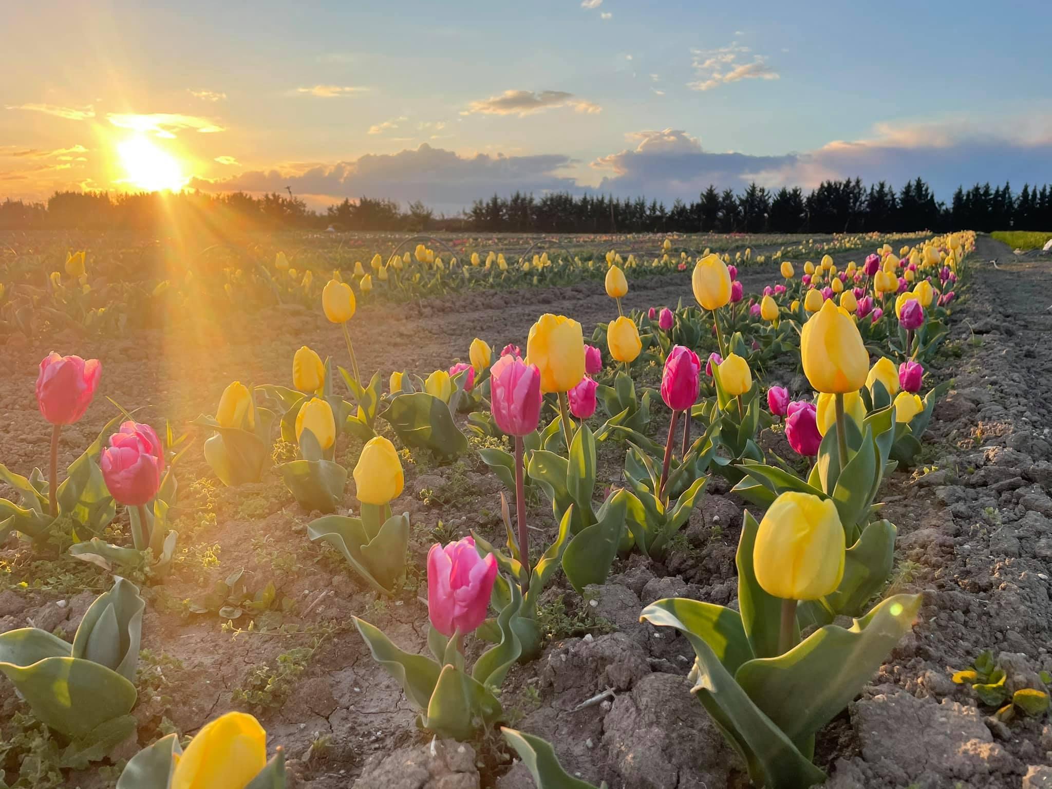 tulipani in Puglia